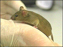 Mouse on a scientist's hand