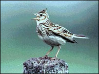 Skylark numbers are falling
