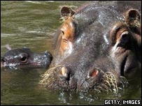 A hippo and her baby