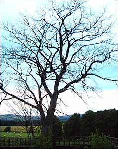 Aberdeenshire Elm killed by Dutch Elm disease
