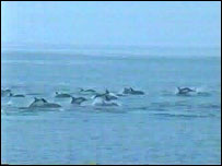 Some of the dolphins leaping : Sea Trust/Wildlife Trust South and West Wales