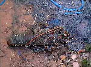 Dead lobster in fishing nets in the town of Gabba