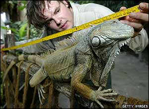 Zoo keeper measures iguana