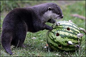 Harry the otter, who lives at Blair Drummond Safari Park, is having a ball with his new snack - a sprat stuffed melon!