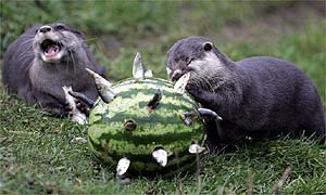 Soon Harry and Sue get stuck into the fishy melon and tuck into their fave food