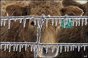 And this cow is surviving freezing temperatuers as it peers through an icicle fringed fence.