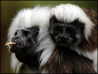 Cotton-top tamarin monkeys