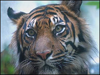 Tigers mainly live in India