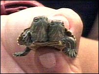 The two-headed turtle
