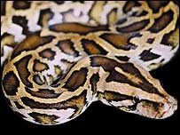 Did the Essex street-snake look like this python?