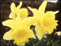 Daffodils are worn on St David's Day