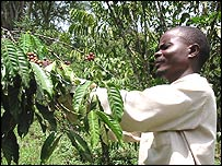 A coffee crop
