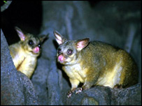 A pair of possums, like the one found in Southampton.