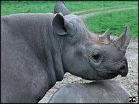 Rhinos are severely endangered