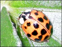 A Harlequin ladybird (Natural History Museum)