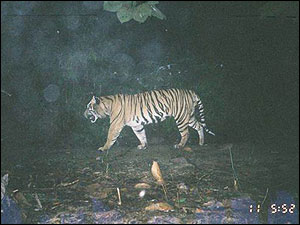 The WWF set up hidden cameras in the Indonesian jungle to snap animals in the wild. This camera captured a tiger - but the camera got more than it bargained for!