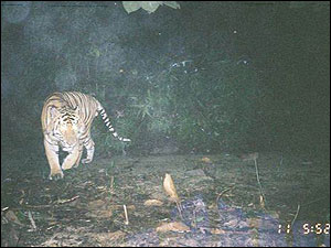Curious about the camera's flash, the tiger goes to investigate.
