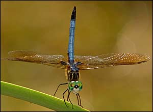 One of the runners-up, Nicholas M Murphy from the US, took this photo, called Blue Dasher.