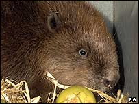 One of the beavers in its box