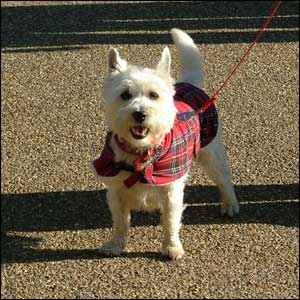 Daisy the West Highland White Terrier