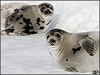 Seals on a ice flow in the Gulf of St. Lawrence