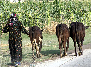 Woman herding three cows