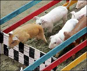 Plucky piglets compete in the Pig Olympics every year in China