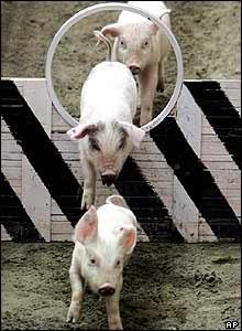 Pigs might fly? These ones have a good go as  they leap through the hoops