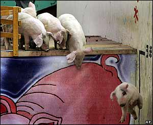 Shall we? Shan't we? These porkers can't decide whether to make the jump
