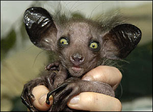 Kintana, a four-day-old aye-aye, is revealed by Bristol Zoo Gardens in the UK