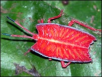 This brightly coloured insect is one of the new species found. Copyright Harry Wirisadinata