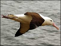 An albatross