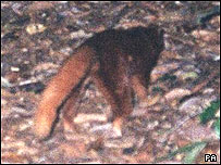 New mammal in Borneo