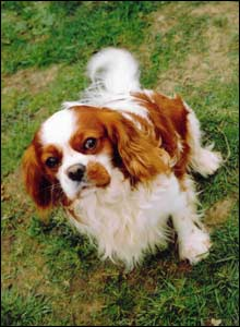 King Charles Spaniel called Rex