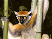 Sifakas are under threat