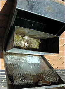 A thrush's nest, with five eggs, in a cigarette-butt box