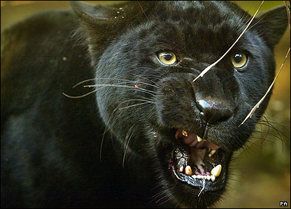 Angry black jaguar - photo#18