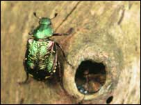 The rare beetle   Photo: Matt Smith/PTES
