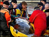 Whale with rescuers