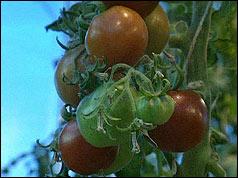 GM tomato plant