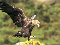 A white tailed eagle - image courtesy of Andy Hay - rspb-images.com