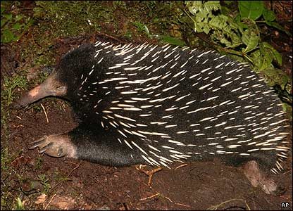 Long-beaked echidnas - primitive egg-laying mammals, were found and were happy to be picked up by members of the team.