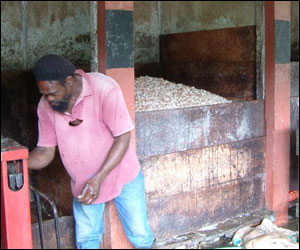 The beans are picked out and left to ferment. These pictures were taken on the Caribbean island of Grenada     Image: C. Coady, Rococo
