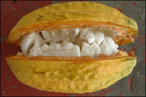 This what the pod looks like when it is opened. Inside the white 'fruits' you can see are the cocoa beans    Image: C. Coady, Rococo