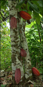 Cocoa trees only grow in places 10 to 20 degrees either side of the equator. The pods grow straight from the tree trunks   Image: C. Coady, Rococo
