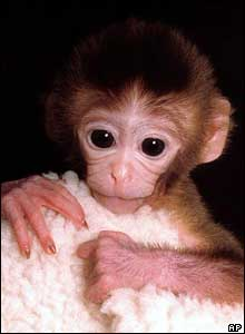 Researchers used a technique called embryo splitting to produce this rhesus monkey, a female named Tetra, at the Oregon Regional Primate Research Center, USA.