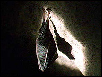 A lesser horseshoe bat hibernating