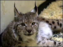 A lynx resting in the animal hospital at London Zoo after being found in a garden in Cricklewood, North London, in 2001.