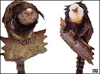 Exmoor Zoo handout images of a black-eared marmoset (left) and a geoffroys (or white-fronted) marmoset