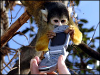A squirrel monkey gets his hands on a mobile phone.